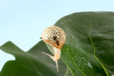 Free Snail Royalty Free Stock Image - 5704036