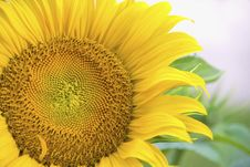 Free Sunflower Stock Photos - 5705383