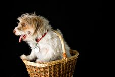 Free Dog In A Basket Stock Images - 5705404