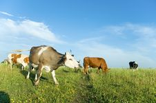Free Cows On A Meadow Stock Photography - 5705662