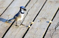 Blue Jay Guarding Nuts