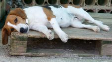 Free Tired Dog, Beagle Royalty Free Stock Photography - 5707287