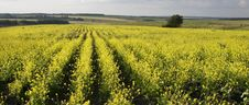 Free Summer Landscape. Yellow Field. Royalty Free Stock Images - 5708269