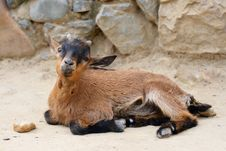 Free Beauty Baby-goat Royalty Free Stock Photo - 5709405