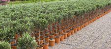 Free Plants Of Olive Plantation With Jar Stock Photo - 5709490