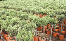 Free Plants Of Olive Plantation With Jar Royalty Free Stock Photo - 5709555