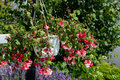 Free Blooming Flower Pot Hanging Stock Photos - 57088863