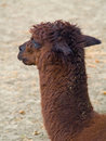Free Alpaca Stock Photography - 5714372