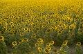 Free Sunflowers Royalty Free Stock Photo - 5718345