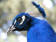 Free Peacock Head Stock Photography - 5710382