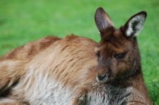 Free Wild Kangaroo Stock Photography - 5710632