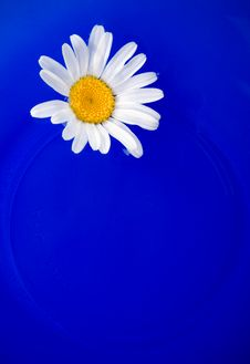 Free Daisy On The Blue Plate Stock Images - 5711224