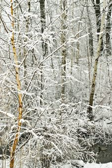 Free Winter Birch And Trees Royalty Free Stock Photo - 5711225