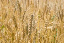 Free Wheat Royalty Free Stock Photos - 5711348