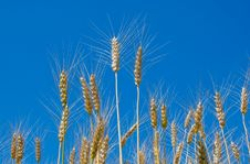 Free Wheat Stock Image - 5711361