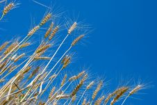Free Wheat Royalty Free Stock Images - 5711369