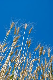 Free Wheat Royalty Free Stock Images - 5711379