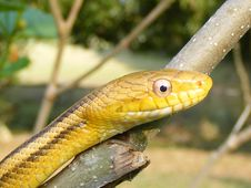 Free Yellow Chicken Snake Stock Images - 5711684