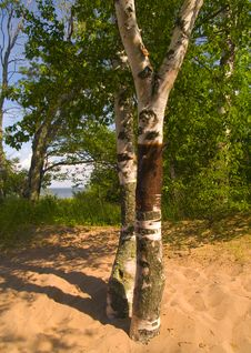Free Birch In Sand Royalty Free Stock Images - 5712149