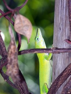 Free Green Lizard Royalty Free Stock Photo - 5712495