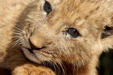 Free Cub Stock Image - 5713101