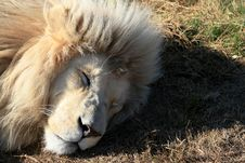 Free White Lion Sleeping Royalty Free Stock Photos - 5713158