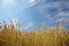 Free Wheat Royalty Free Stock Photo - 5713205