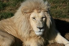 Free Rare White Lion Stock Photography - 5713352