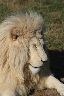 Free White Lion Sleeping Royalty Free Stock Image - 5713386