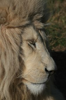 Free Rare White Lion Stock Images - 5713394