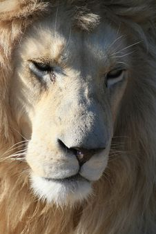 Portrait Of A Rare White Lion Royalty Free Stock Image