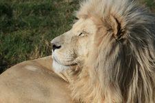 Free White Lion Royalty Free Stock Photography - 5713577