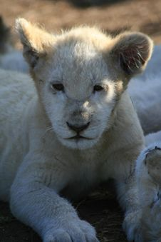 Free White Lion Cub Stock Photos - 5713713