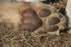 Lion Cub Paw Royalty Free Stock Photos
