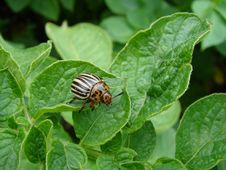 Free Potato Beetle Stock Images - 5713824