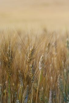 Free Ear Of Wheat Royalty Free Stock Images - 5713859