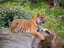 Free Tiger Stock Photography - 5714282