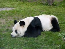 Free Panda Royalty Free Stock Image - 5714286