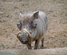 Free Wart-hog Stock Images - 5714294