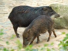 Free Hogs Stock Image - 5714301