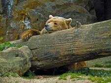 Free Brown Bear Royalty Free Stock Images - 5714309