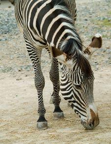 Free Zebra Royalty Free Stock Photography - 5714337