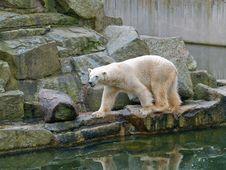 Free White Bear Royalty Free Stock Image - 5714346