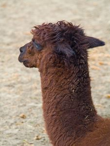 Free Alpaca Stock Photography - 5714372