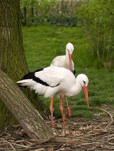 Free Two Stork Stock Image - 5714381
