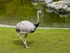 Free Ostrich Stock Image - 5714411