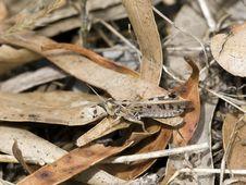 Free Desert Locust On Dried Leaves Stock Photo - 5714430