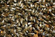 Free Bees Stock Image - 5714431