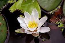 Free Water Lily Royalty Free Stock Image - 5714926