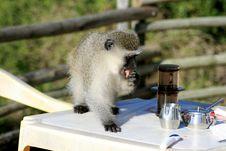 Monkey Stealing Food Royalty Free Stock Photos